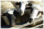 Tri ovce